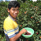Photo of boy picking raspberries in Guatemala