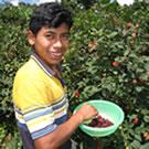 Boy in Guatemala picking raspberries.