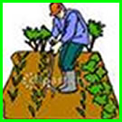 Vegetable Gardens, Community Gardens: Gardener weeding his plot